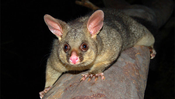 What Do Baby Possums Eat And Drink Nz