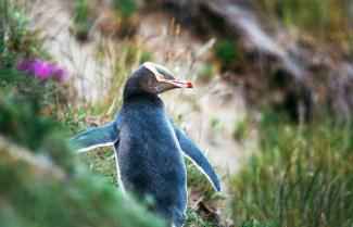 Yellow Eyed Penguin Tour