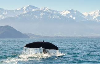 Kaikoura Whale Watching