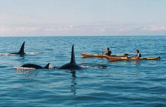 The possibility of Kayaking with Orcas, Abel Tasman National Park