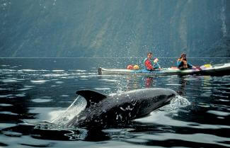 Dolphin swims next to a kayaker in Doubtful Sound