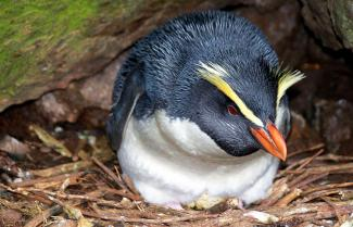 Fiordland Crested Penguins