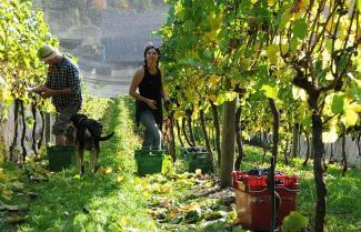 folks working on a New Zealand vineyards while wine touring New Zealand