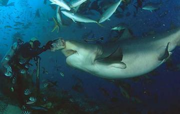 The Bull Sharks of Beqa - Shark Diving Fiji with no cage!